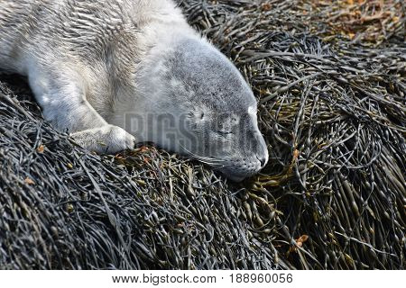 Fluffy gray harbor seal pup sleeping on seaweed in Maine.