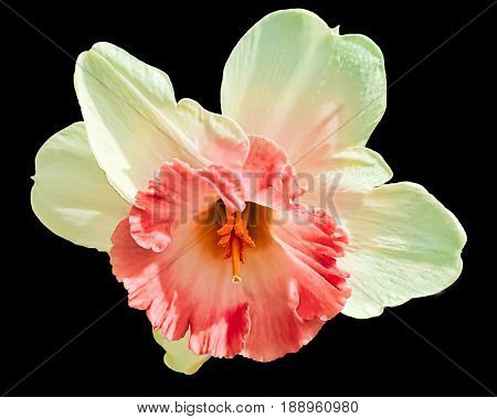 An isolated cut out daffodil with a peach center and closeup of pistil on a black background