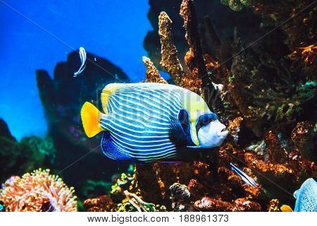 Emperor Angelfish (Pomacanthus imperator) fish and coral reef in ocean. Tropical fish in underwater life, background, Red Sea, Egypt.