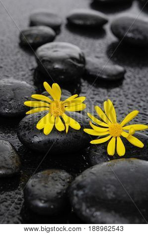 Two gerbera and therapy stones