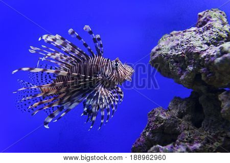 Lionfish with striped pattern on body swims near stones underwater, diving, sealife, selective focus