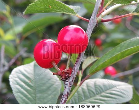 Red Montmorency cherries on tree in cherry orchard