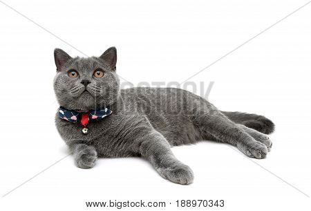 kitten in collar with a bow isolated on a white background. horizontal photo.