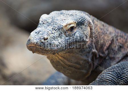 The Komodo dragon Varanus komodoensis close up portrait. Species of lizard found in the Indonesian islands.