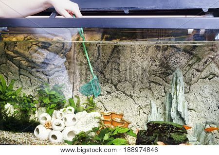 Young woman cleaning aquarium with scoop-net at home.