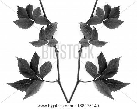 Black And White Composition Of Twigs Grapes Leave