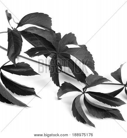 Black And White Branch Of Grapes Leaves (parthenocissus Quinquefolia Foliage)