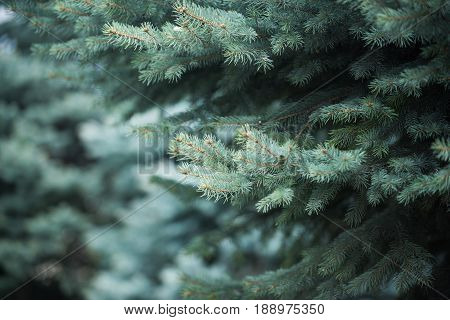 Christmas Tree, Background From Green Fir Tree Branch, Fluffy Young Branch Fir Tree With Needles