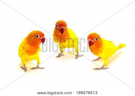Group of Double Yellow Lovebird on white background