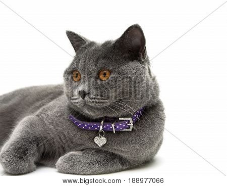 Portrait of a gray cat with yellow eyes. white background - horizontal photo.