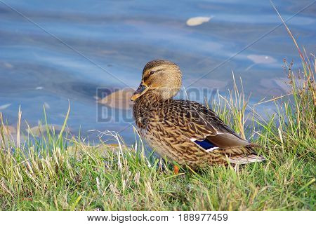 Duck mallard on shore in grass on blue water background. Selective focus.