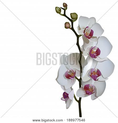 Photorealistic illustration of phalaenopsis, a branch of white flowers with pink center.