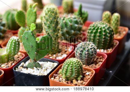 Small cactuses and succulents at the flower shop.Cactus succulent plant in flowerpot Houseplant Concept