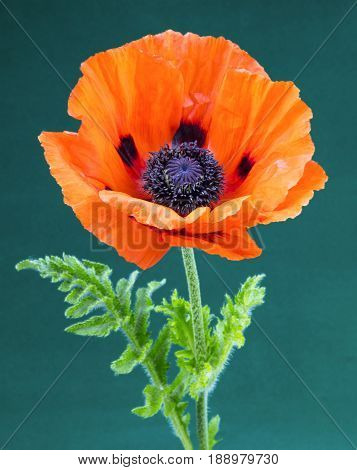 Close up view of a large red poppy on a green background.