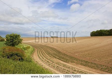 Yorkshire Potato Fields