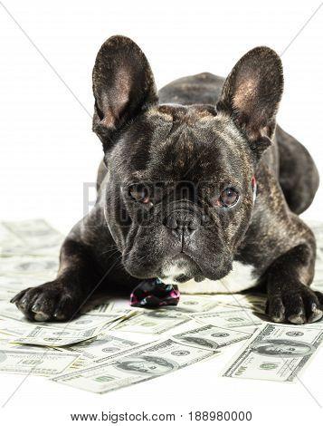 French bulldog dog lying on money banknotes