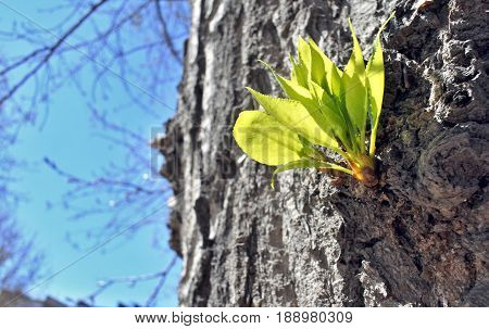 young green leaves on the trunk of an old poplar in early spring morning