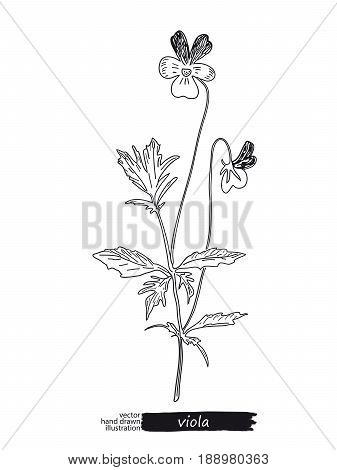 Viola isolated vector sketch hand drawn illustration. Detailed botanical sketch medicinal and honey plants. Black and white.