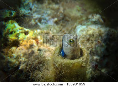 Coral fish of the Red Sea from the family Blennidae - Lance Blenny (Aspidontus dussumieri)