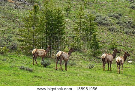 Elk (or) Wapiti (Cervus Elaphus graving in a grassy meadow near Stanley, Idaho on a spring day.