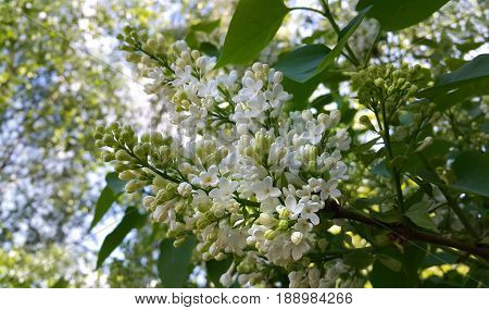 Spring branches with beautiful blossoming white lilac flowers