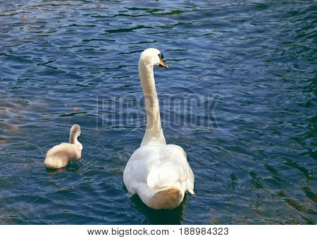 One swan and a cygnet swimming in clear water on a sunny day. With space for text. Mother and baby. Love is.