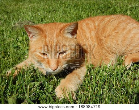 a detail of a yellow caat in grass