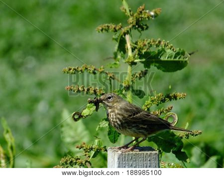 Meadow pipit perched on a post, with food for its young