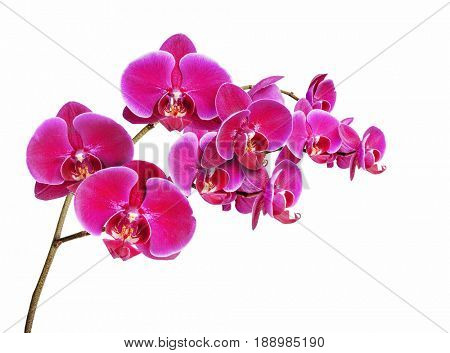 Orchidaceae flower isolated on white background