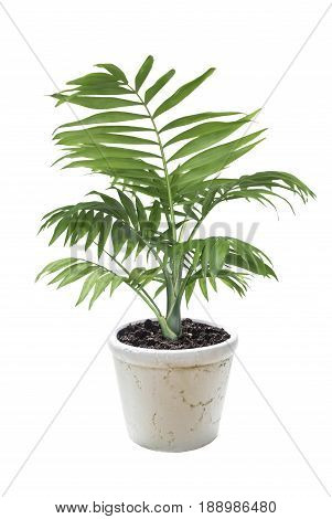 House plant Chamaedorea in a ceramic flower pot isolated on a white background