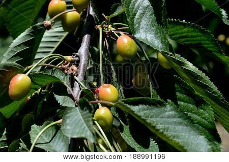 Sweet cherry. Cherry. Unripe fruit. Orchard.  y