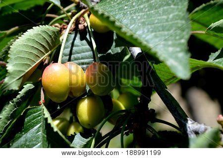 Sweet cherry. Cherry. Unripe fruit. Orchard.  n