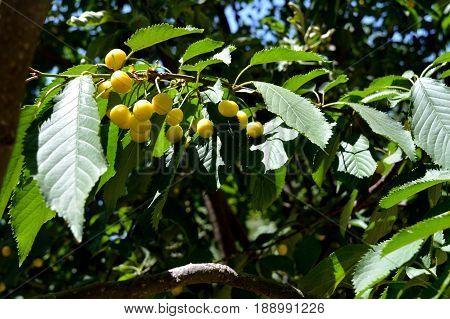 Sweet cherry. Cherry. Unripe fruit. Orchard. 1