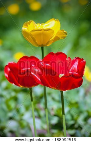 Flower bed of bright vivid red and yellow tulips in spring.