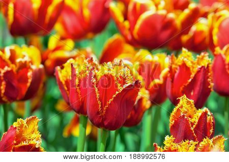 Flower bed of bright vivid red and yellow Fringed Tulips in Spring.