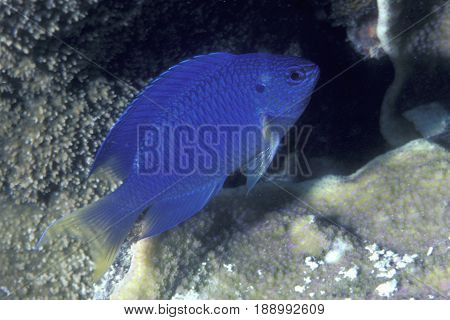 A Blue or Sapphire Damselfish, (Pomacentrus pavo) on a coral reef at the Kwajalein Atoll in the Pacific