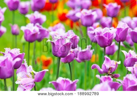 Flower bed of bright vivid purple fringed tulips in spring.