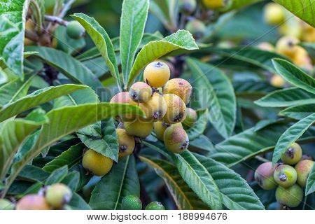 Bunch Of Ripe Loquats In The Tree