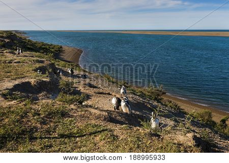 Colony of Magellanic penguin in the Valdes Peninsula in Argentina South America