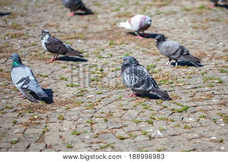 Pigeons On The Square, Birds Clouse Up
