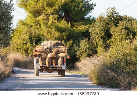 Heavy load of sacks filled with freshly harvested olives on white truck on rural road in Greece