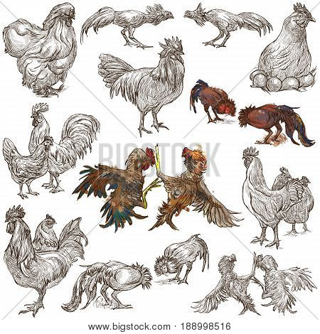 Farm animals - POULTRY. Set of roosters and hen. Collection of an hand drawn illustrations. Full sized freehand sketches. Line art. Isolated on white.