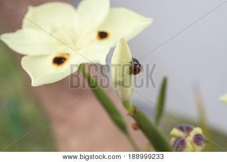 Red and black spotted Ladybug crawling on a yellow Dietes flower in a garden