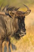 Portrait of a gnu - the picture was taken in Etosha Park Namibia. poster