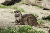 Otter portrait. Small aquatic mammal on dry land. With wet fur fresh from the water. poster