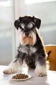 Cute miniature schnauzer standing with forelegs on table in front of plate full of granules and looking at camera. Obedient dog waiting for permission poster