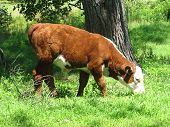 A Hereford calf grazing in a green field poster