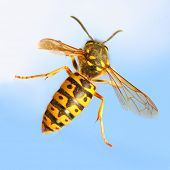The Wasp - Vespula Germanica flying on blue sky. A wasp's stinger contains venom that's transmitted to humans during a sting. Can cause significant pain, irritation and dangerous allergic reaction. poster