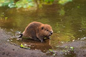 North American Beaver Kit (Castor canadensis) Stands on Shoreline - captive animal
