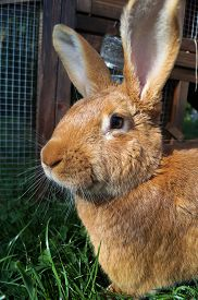 Cute Bunny Rabbit Close-Up. A French Fauve de Bourgogne rabbit closeup sitting in the grass